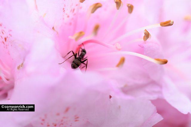 マクロレンズでツツジを蟻を撮影